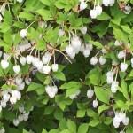 White-flowered Enkianthus/ドウダンツツジ