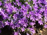 オトメギキョウの花