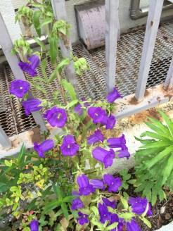 フウリンソウの花