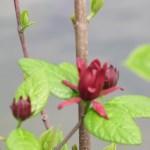 クロバナロウバイ 花のアップ