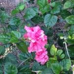 八重咲きハイビスカス ブッソウゲ