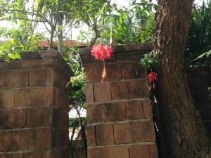 Flower of Fringed Hibiscus フウリンブッソウゲ