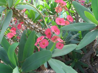 Christ plant/ ハナキリン