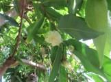 フトモモ 花と幼果