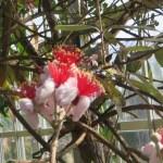 フェイジョア 花のアップ