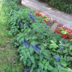 サルビア・グアラニティカの花壇