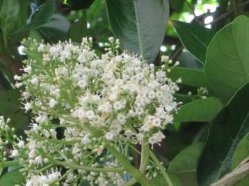 Sweet viburnum/ サンゴジュ