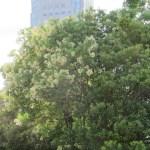 サンゴジュ 花が咲いている木の様子