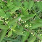 コムラサキシキブ 花とつぼみ