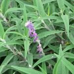 メキシカンブッシュセージの花 まだ若い固体