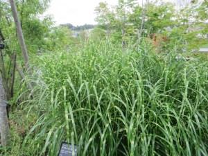 タカノハススキの葉