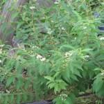 シロシキブ 植物の姿
