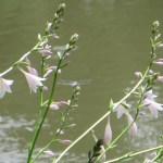 水辺のギボウシの花