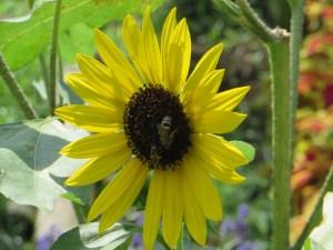 ヒマワリの蜜を吸う蜂たち