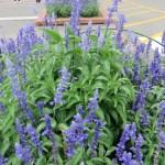 Mealycup sage/ サルビア・ファリナセアの花壇