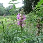 エゾミソハギ 花のアップ