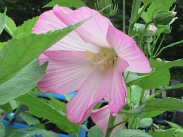 ハナアオイ 花のアップ