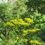 Patrinia scabiosifolia/ オミナエシ
