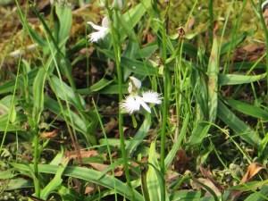 White Egret Flower/ サギソウ