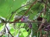 クズの花と葉の様子
