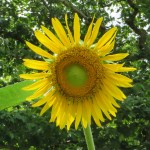 Sunflower/ ヒマワリ