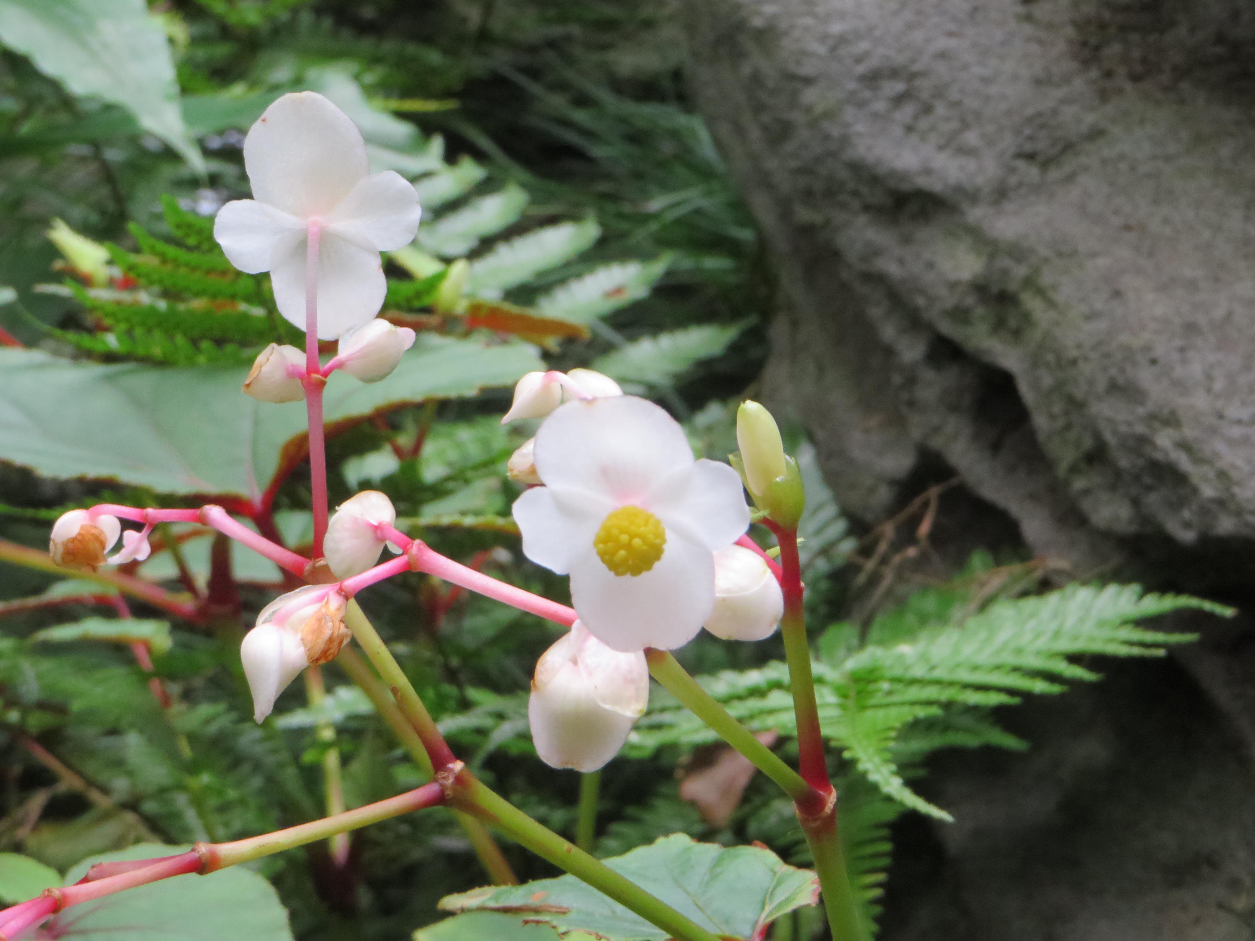 シュウカイドウ 花のアップ
