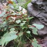 シュウカイドウ 花の様子