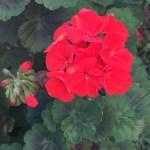 テンジクアオイの花