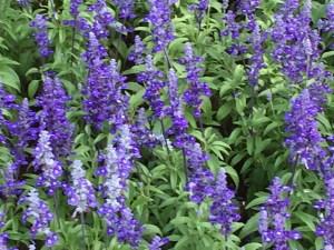 花壇のサルビア・ファリナセア