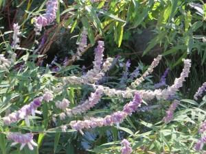 メキシカンブッシュセージの花の様子(少し色が薄い花)