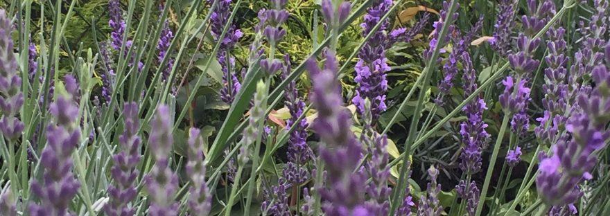 Lavender/ ラベンダー (イングリッシュ・ラベンダー)