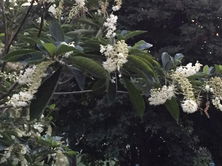 Flower of Summersweet