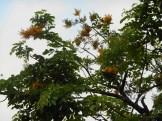 カリン(インドカリン)の木の様子