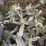 クレマチス アーマンディの花