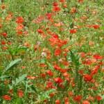 野に植えられたヒナゲシ