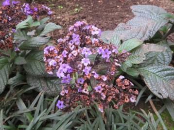 ヘリオトープ 植物の姿