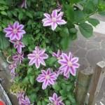 ピンク系のクレマチスの花