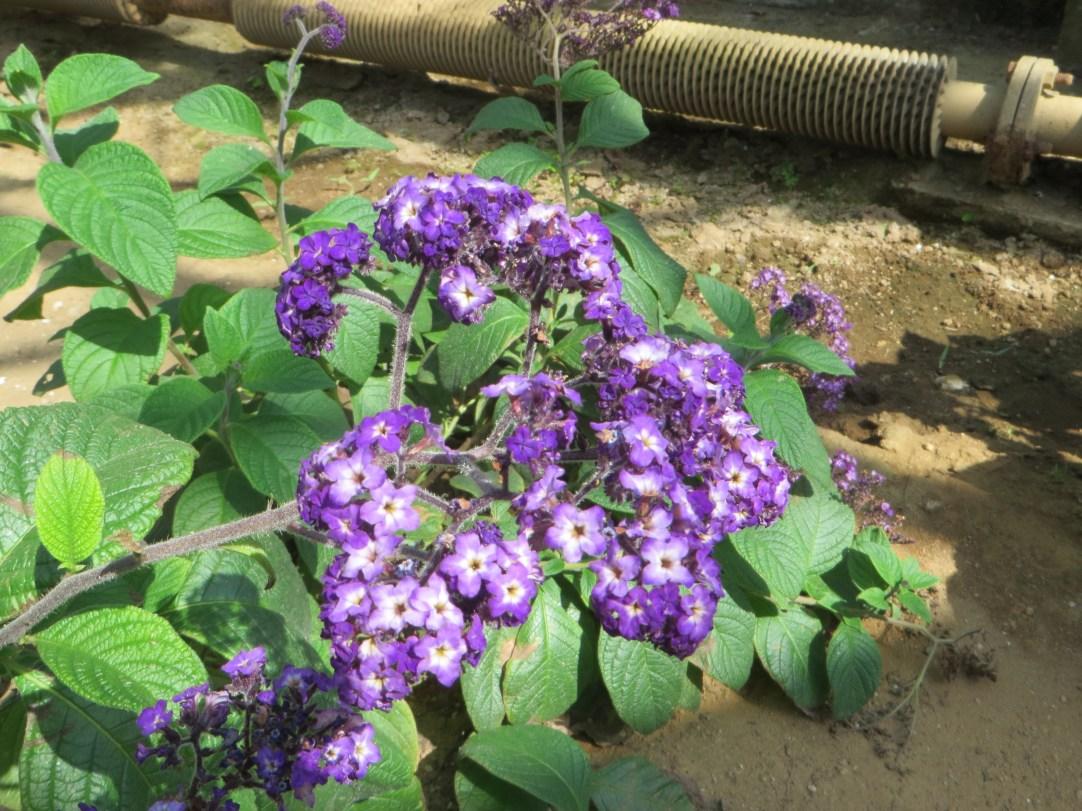 Garden heliotrope/ ヘリオトープ