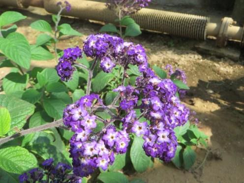 ヘリオトープの花の姿