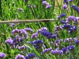 スターチス 青花系の花のアップ