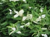 ハンゲショウの花の様子