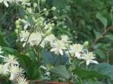 Clematis apiifolia / ボタンヅル