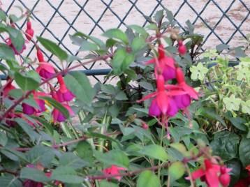 Fuchsia/ フクシア
