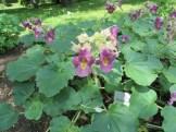 ツノゴマの植物の様子