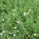 白花キンロバイ(ギンロバイ)の姿