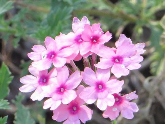 バーベナ 花のアップ
