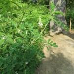 コマツナギ(白花) 植物の姿