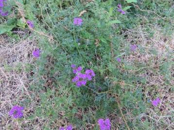 バーベナの草の姿