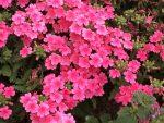 Japanese primrose/ サクラソウ