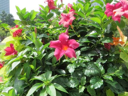 マンデビラの花の姿